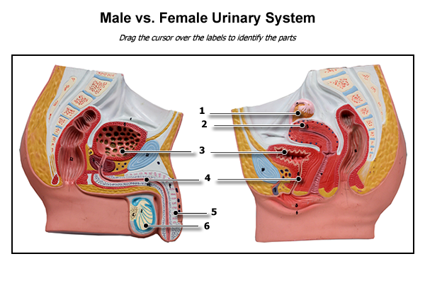 urinary system normal anatomy physiology
