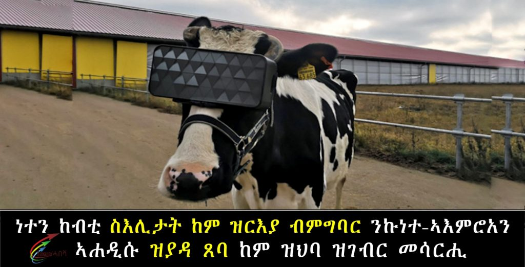 Russian dairy farmers give cows VR goggles, hoping for happier herd and more milk